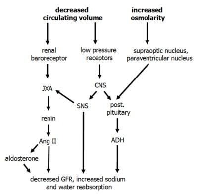 ADH norepinephrine angiotensin II aldosterone